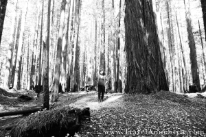 black and white of the redwood